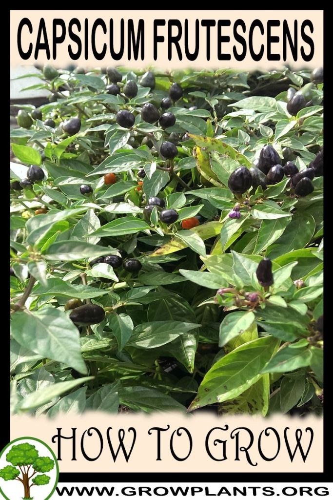 How to grow Capsicum frutescens
