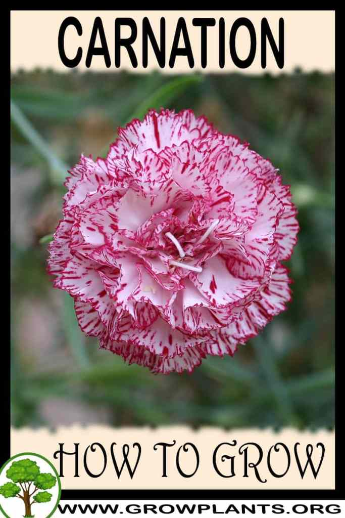 How to grow Carnation