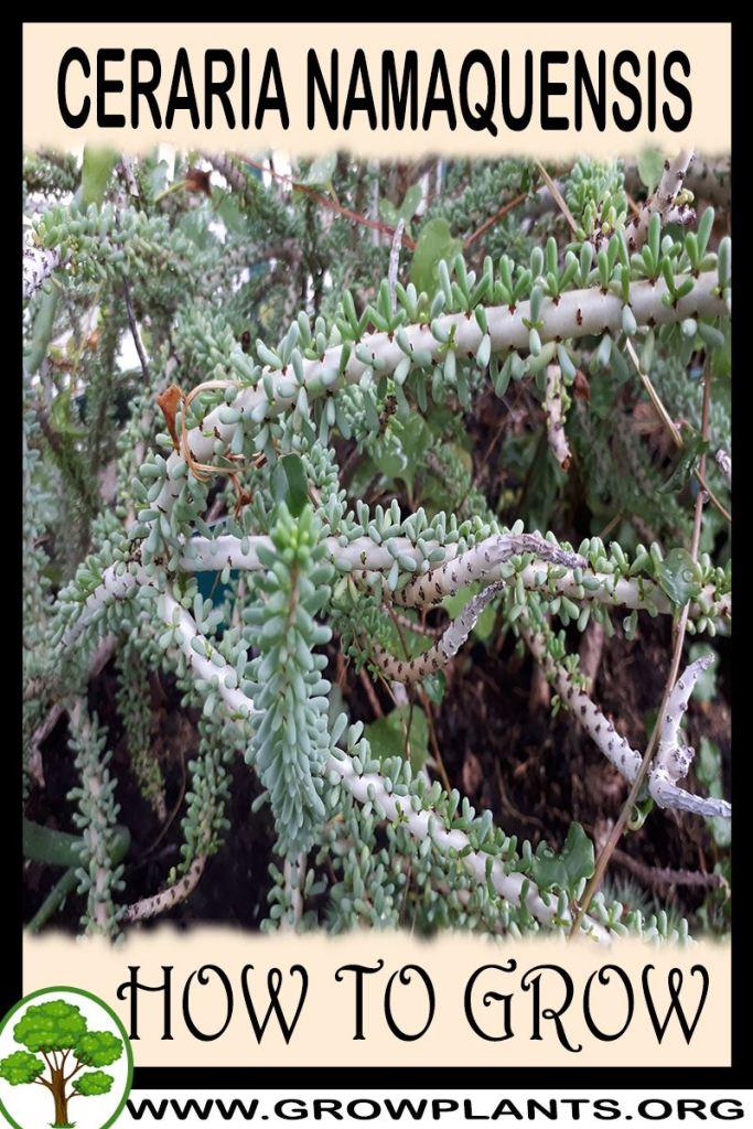 How to grow Ceraria namaquensis