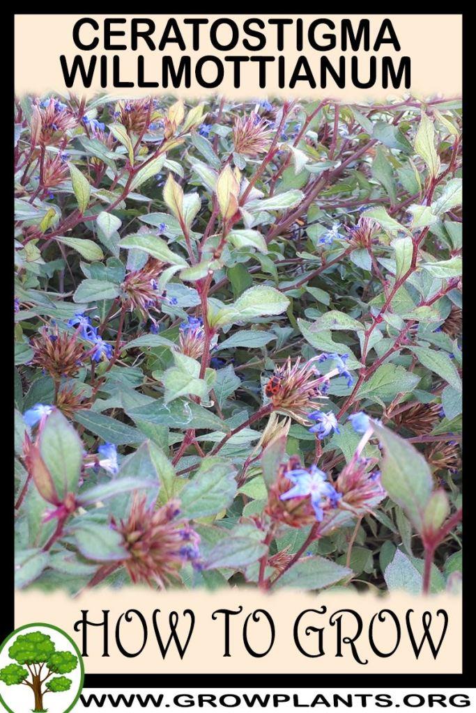 How to grow Ceratostigma willmottianum