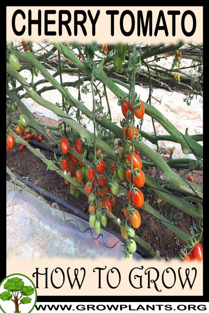 How to grow Cherry tomato