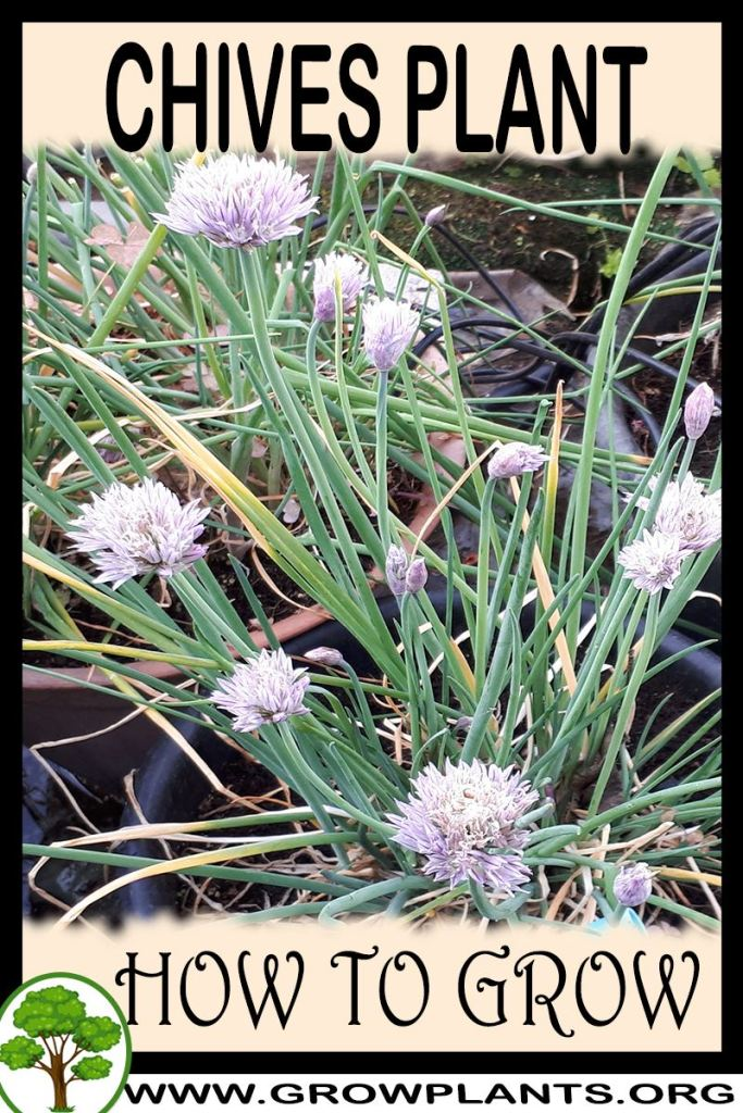 How to grow Chives plant