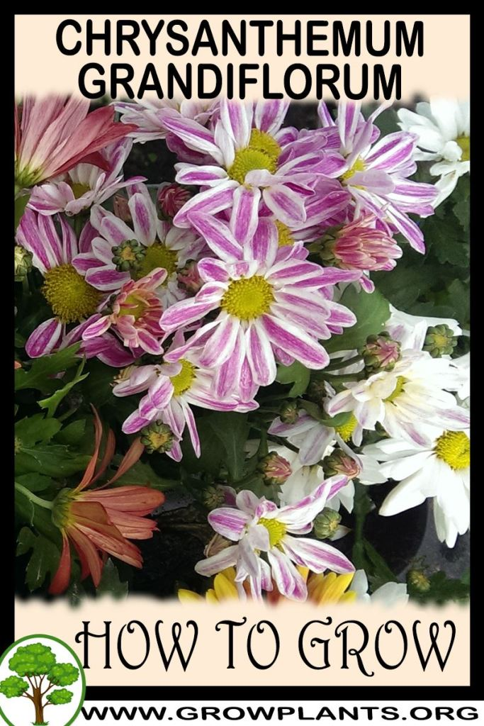 How to grow Chrysanthemum grandiflorum