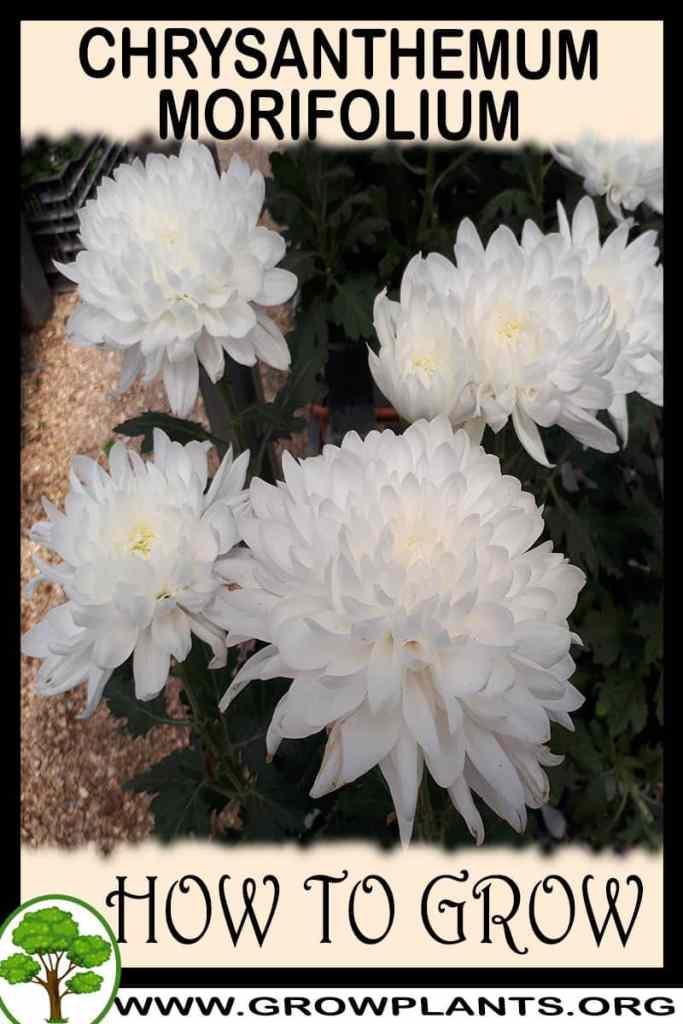 How to grow Chrysanthemum morifolium