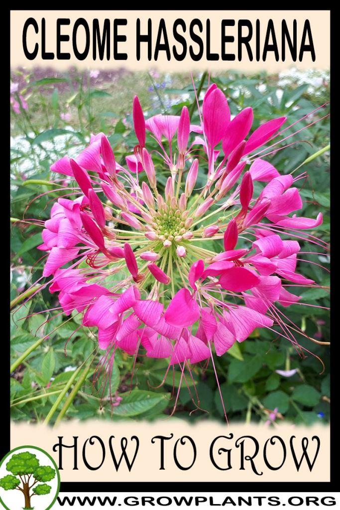 How to grow Cleome hassleriana