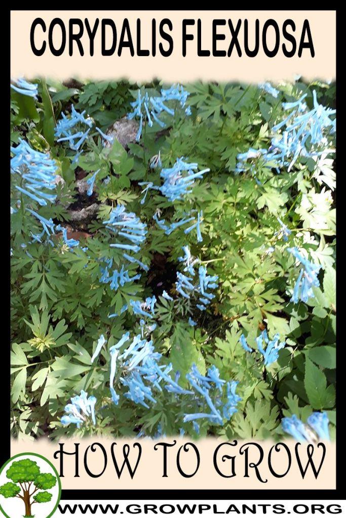 How to grow Corydalis flexuosa