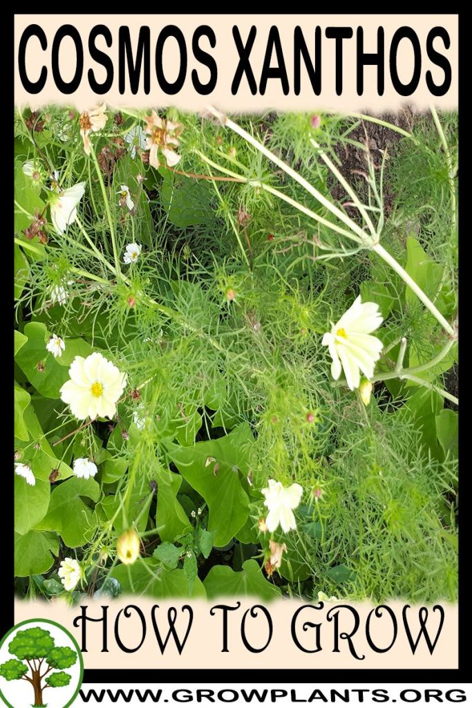 How to grow Cosmos xanthos