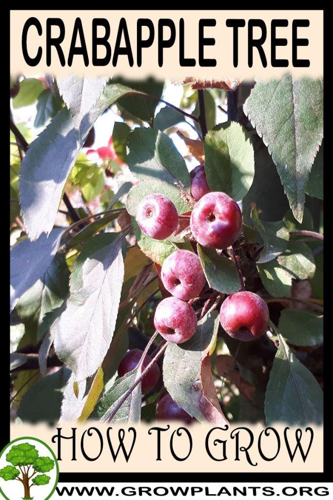 How to grow Crabapple tree