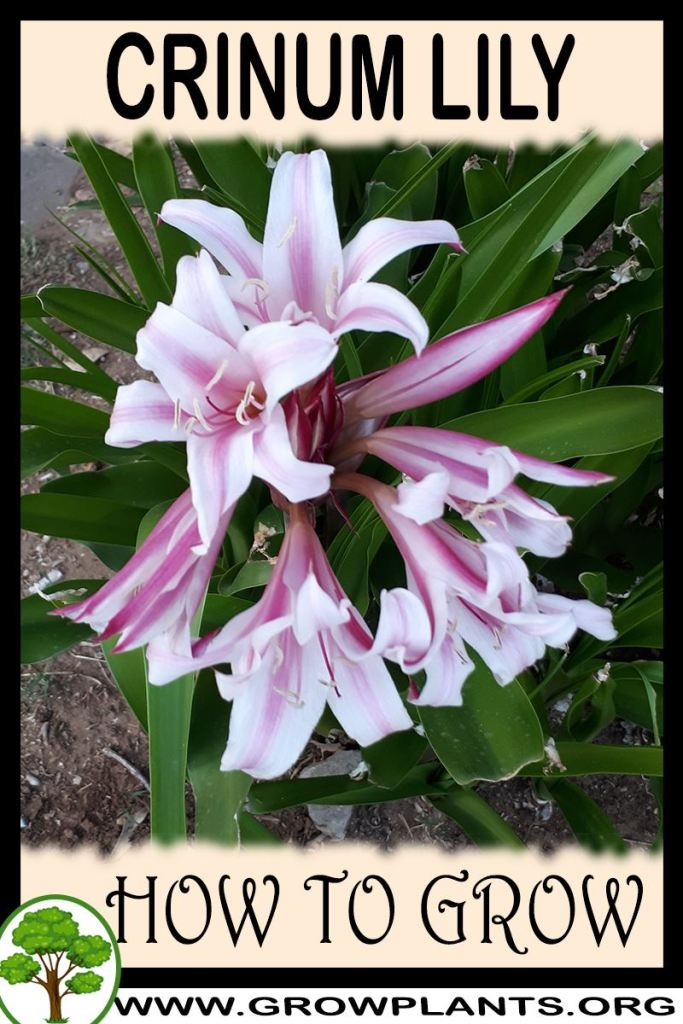 How to grow Crinum lily