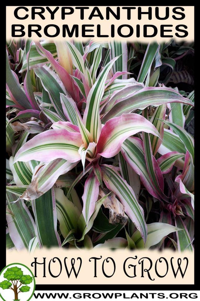 How to grow Cryptanthus bromelioides