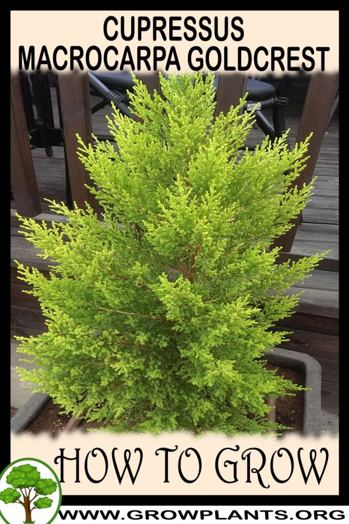 How to grow Cupressus macrocarpa Goldcrest
