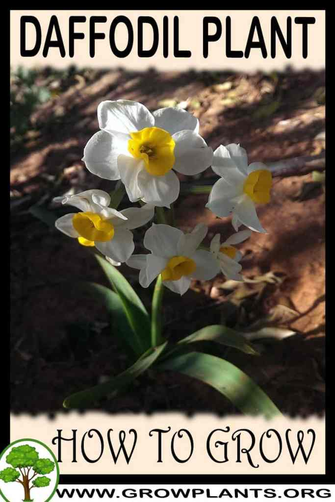 How to grow Daffodil plant