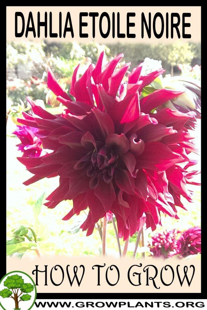 How to grow Dahlia Etoile noire