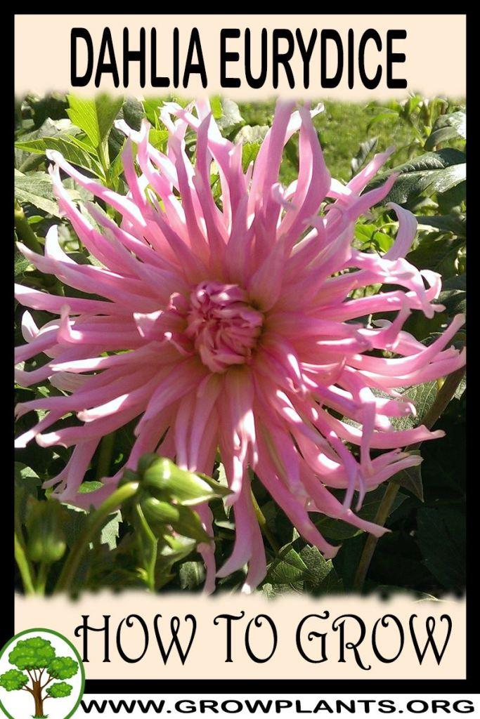 How to grow Dahlia Eurydice