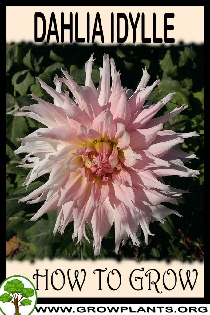 How to grow Dahlia Idylle