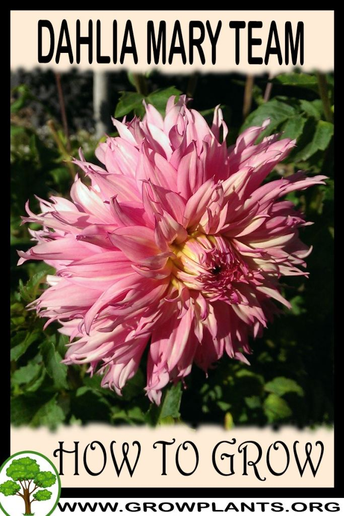 How to grow Dahlia Mary team
