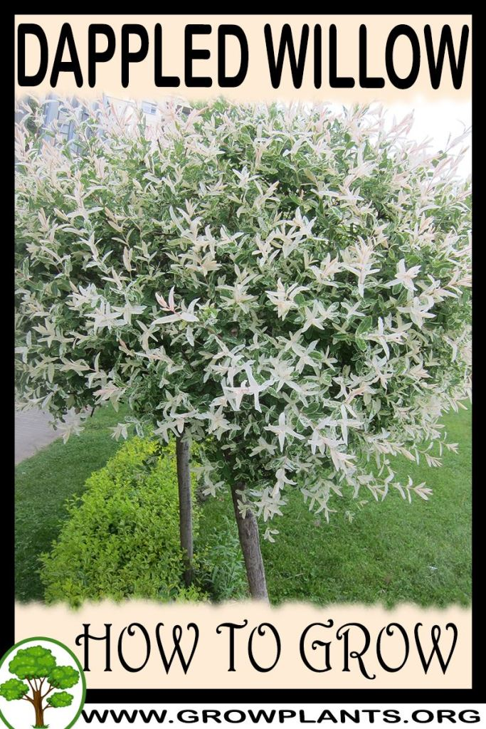How to grow Dappled willow