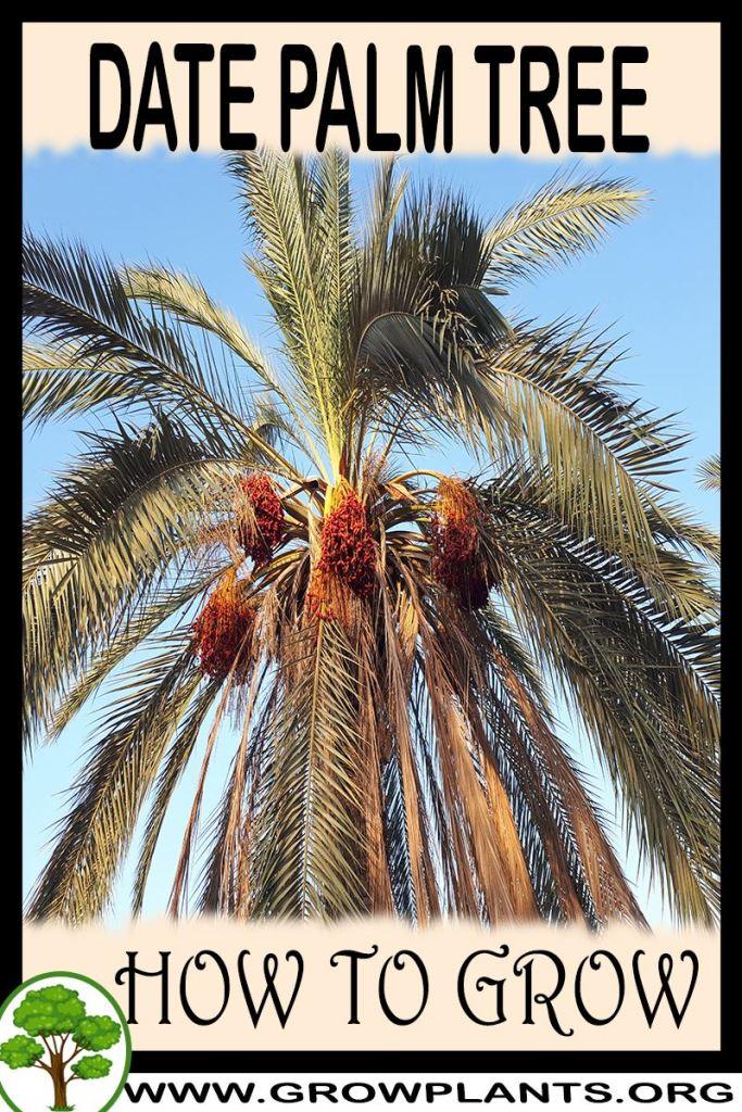 How to grow Date palm tree