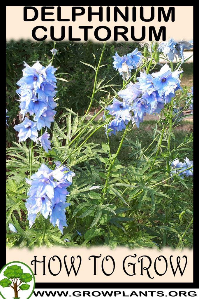 How to grow Delphinium cultorum