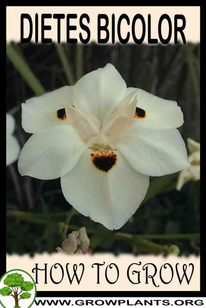 How to grow Dietes bicolor
