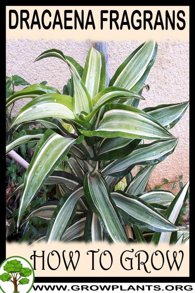 How to grow Dracaena fragrans