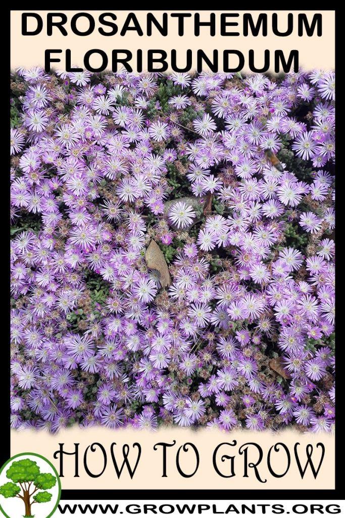 How to grow Drosanthemum floribundum