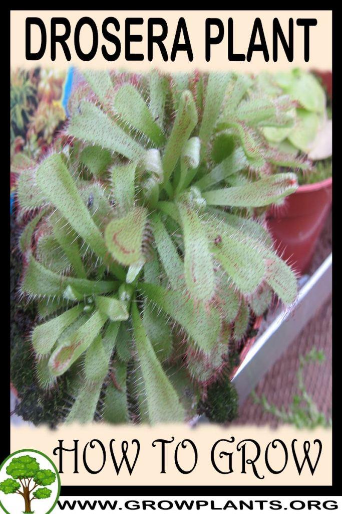 How to grow Drosera