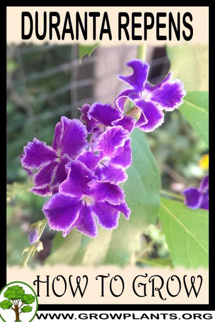 How to grow Duranta repens