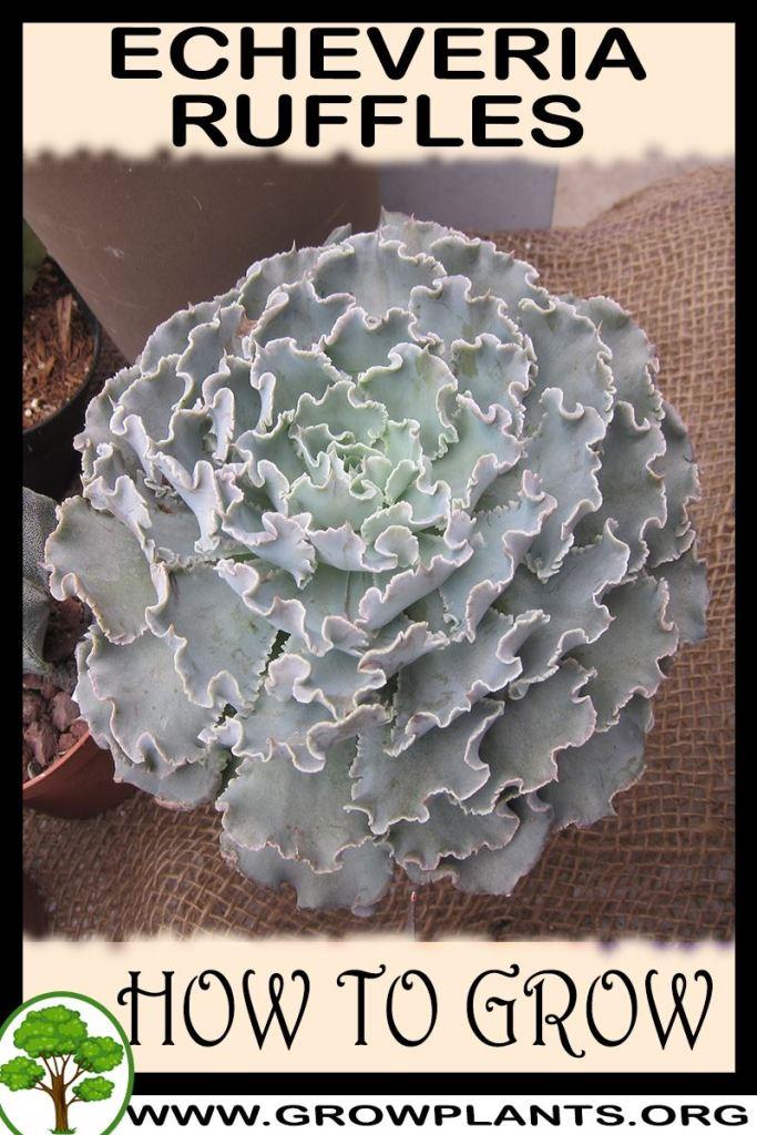 How to grow Echeveria ruffles
