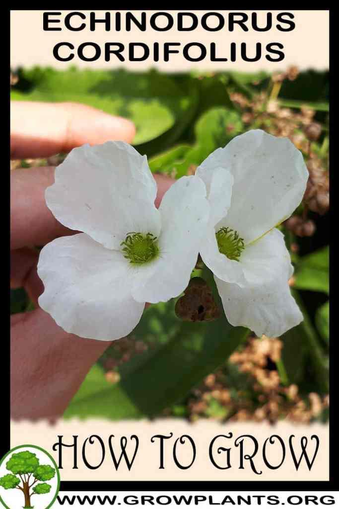 How to grow Echinodorus cordifolius