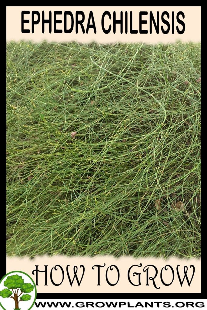 How to grow Ephedra chilensis