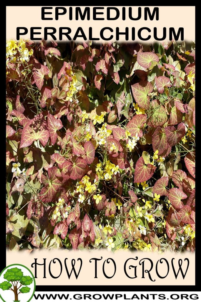 How to grow Epimedium perralchicum