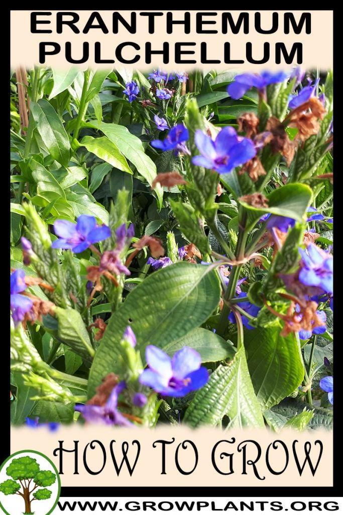 How to grow Eranthemum pulchellum