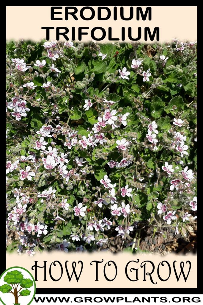 How to grow Erodium trifolium