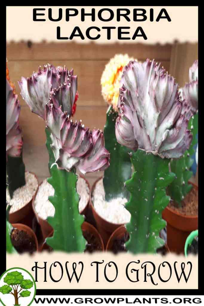 How to grow Euphorbia lactea