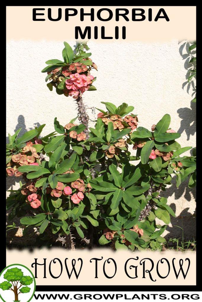 How to grow Euphorbia milii