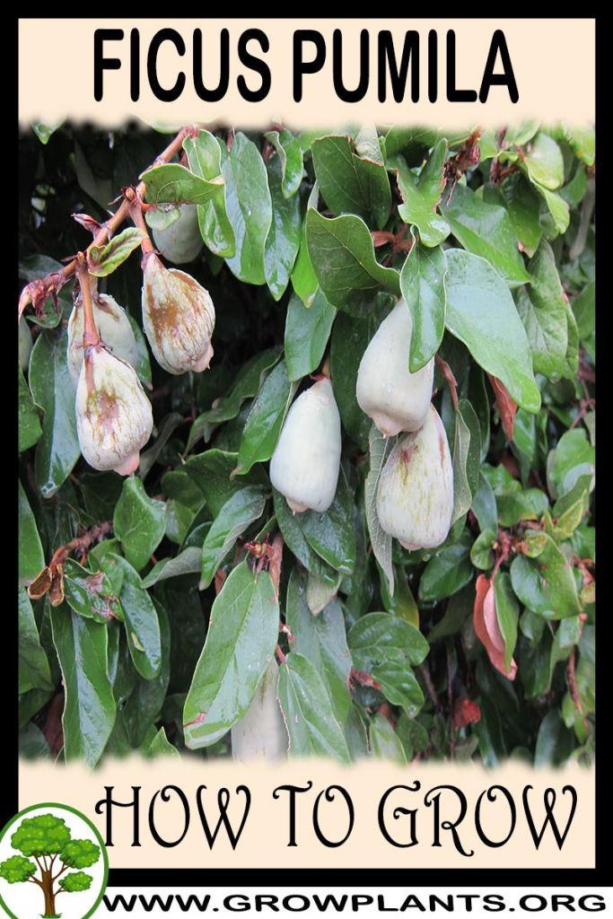 How to grow Ficus pumila