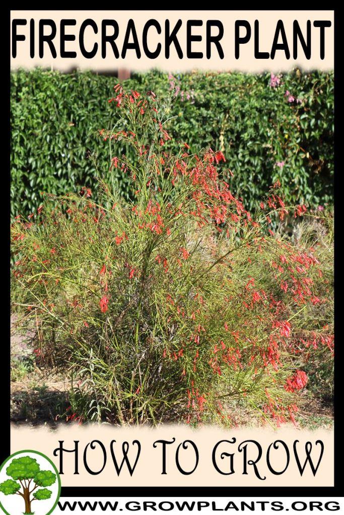 How to grow Firecracker plant