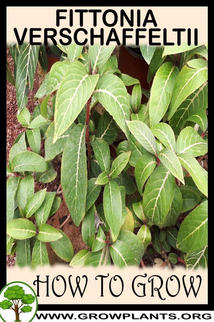 How to grow Fittonia verschaffeltii