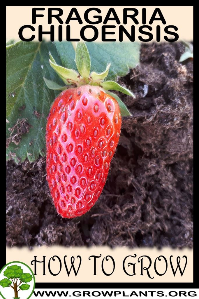 How to grow Fragaria chiloensis