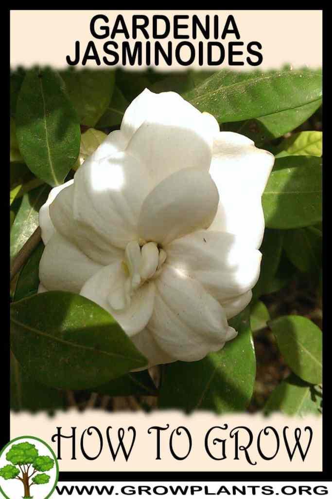 How to grow Gardenia jasminoides