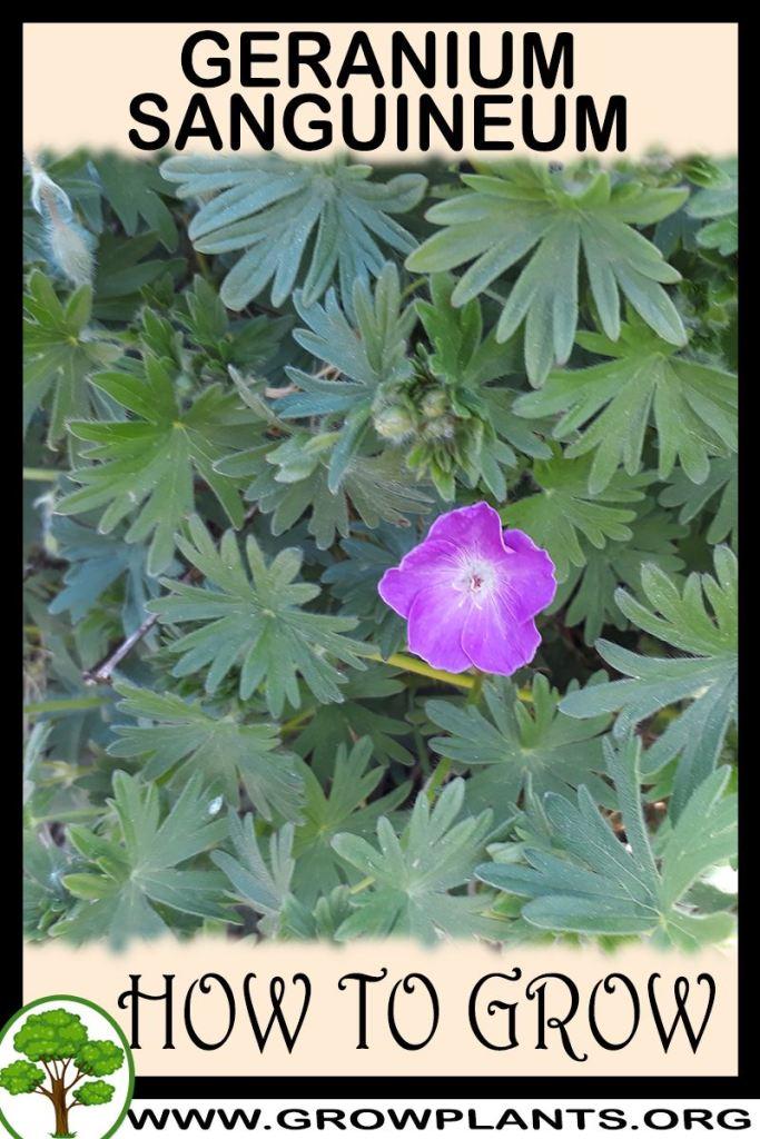 How to grow Geranium sanguineum