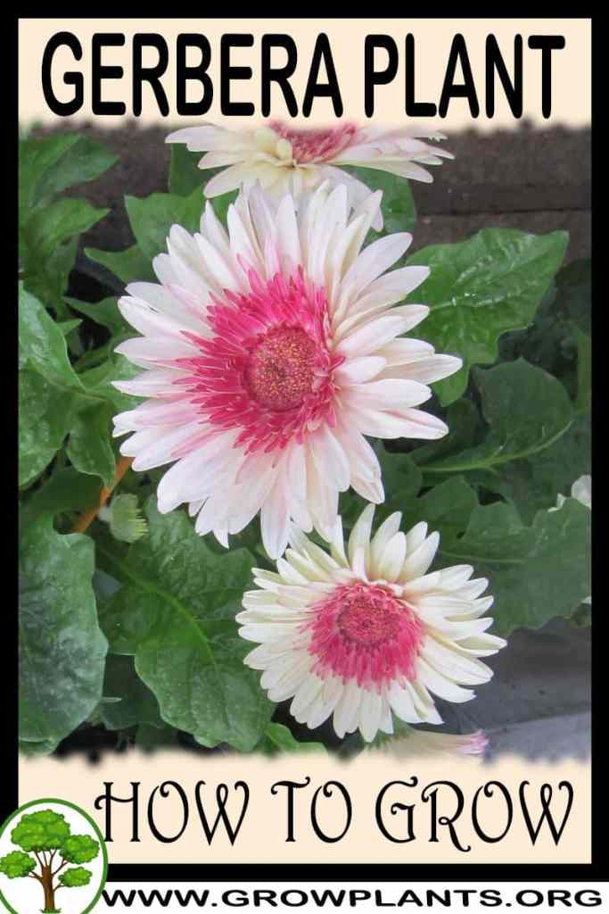 How to grow Gerbera
