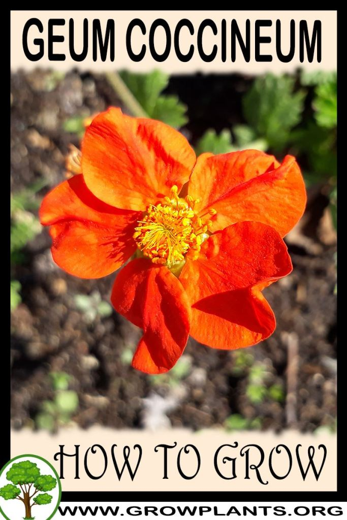How to grow Geum coccineum