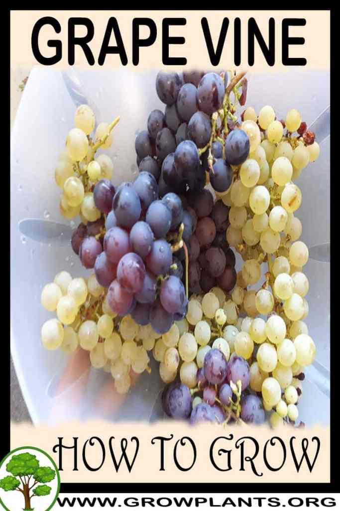 How to grow Grape vine