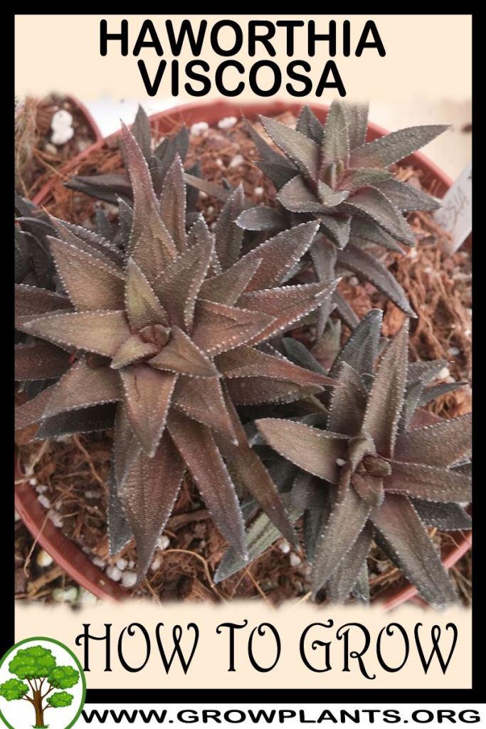 How to grow Haworthia viscosa