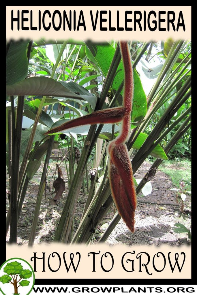 How to grow Heliconia vellerigera