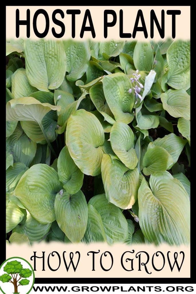 How to grow Hosta plant