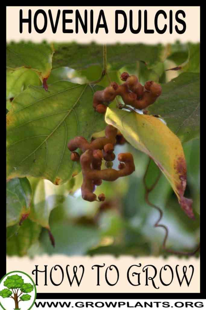 How to grow Hovenia dulcis