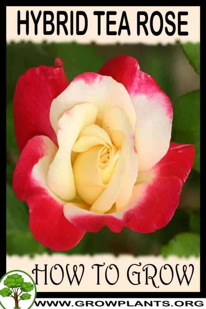 How to grow Hybrid tea rose